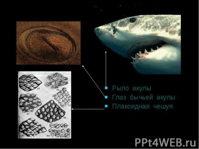 Рыло акулы Глаз бычьей акулы Плакоидная чешуя