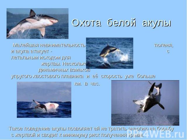 Малейшая невнимательность тюленя, и акула атакует - с летальным исходом для жертвы. Несколько динамичных взмахов упругого хвостового плавника и её скорость уже больше Малейшая невнимательность тюленя, и акула атакует - с летальным исходом для жертвы…