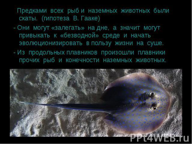Предками всех рыб и наземных животных были скаты. (гипотеза В. Гааке) Предками всех рыб и наземных животных были скаты. (гипотеза В. Гааке) - Они могут «залегать» на дне, а значит могут привыкать к «безводной» среде и начать эволюционизировать в пол…