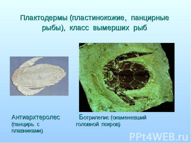 Антиархтеролес Ботрилепис (окаменевший (панцирь с головной покров) плавниками)