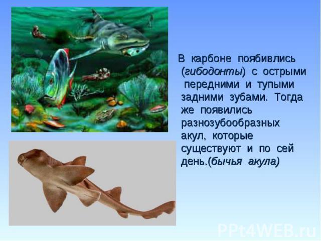 В карбоне поябивлись (гибодонты) с острыми передними и тупыми задними зубами. Тогда же появились разнозубообразных акул, которые существуют и по сей день.(бычья акула) В карбоне поябивлись (гибодонты) с острыми передними и тупыми задними зубами. Тог…