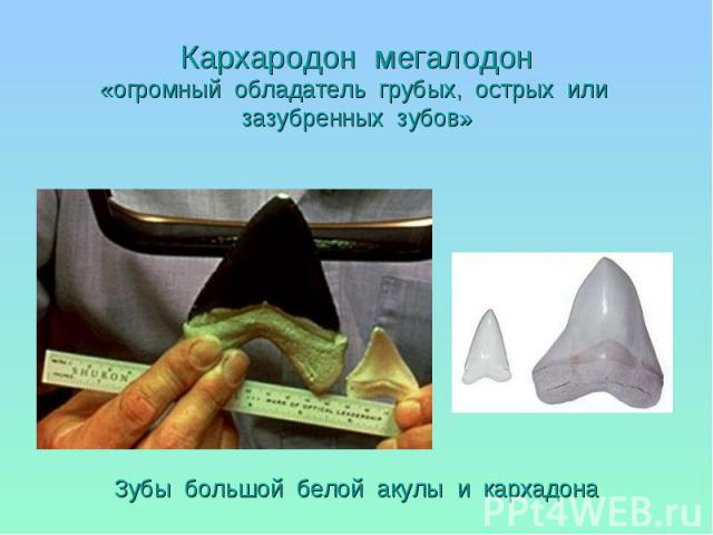 Зубы большой белой акулы и кархадона