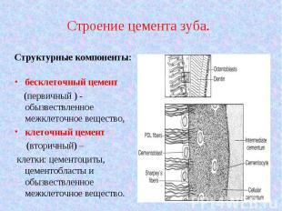 Структурные компоненты: Структурные компоненты: бесклеточный цемент (первичный )