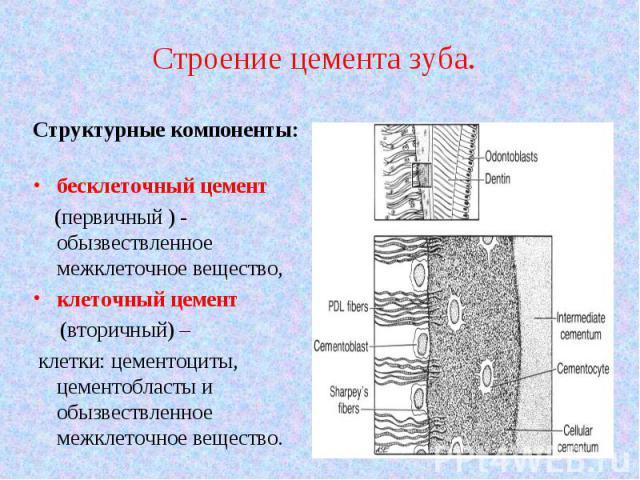 Структурные компоненты: Структурные компоненты: бесклеточный цемент (первичный ) - обызвествленное межклеточное вещество, клеточный цемент (вторичный) – клетки: цементоциты, цементобласты и обызвествленное межклеточное вещество.