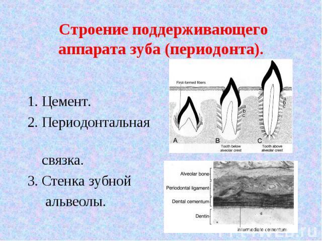 1. Цемент. 2. Периодонтальная связка. 3. Стенка зубной альвеолы.