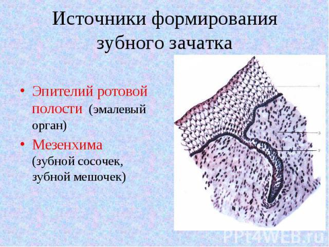 Эпителий ротовой полости (эмалевый орган) Эпителий ротовой полости (эмалевый орган) Мезенхима (зубной сосочек, зубной мешочек)