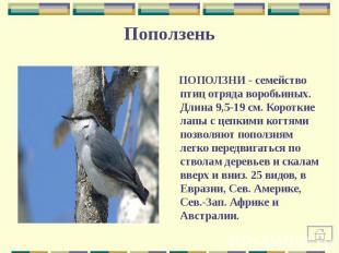 ПОПОЛЗНИ - семейство птиц отряда воробьиных. Длина 9,5-19 см. Короткие лапы с це