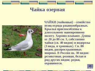 ЧАЙКИ (чайковые) - семейство птиц отряда ржанкообразных. Крылья приспособлены к