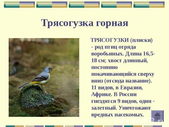 ТРЯСОГУЗКИ (плиски) - род птиц отряда воробьиных. Длина 16,5-18 см; хвост длинный, постоянно покачивающийся сверху вниз (отсюда название). 11 видов, в Евразии, Африке. В России гнездятся 9 видов, один - залетный. Уничтожают вредных насекомых. ТРЯСОГ…
