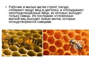 Рабочие и малые матки строят гнездо, собирают пищу( мёд и цветень), и откладываю