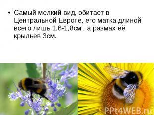 Самый мелкий вид, обитает в Центральной Европе, его матка длиной всего лишь 1,6-