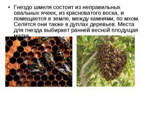 Гнездо шмеля состоит из неправильных овальных ячеек, из красноватого воска, и по