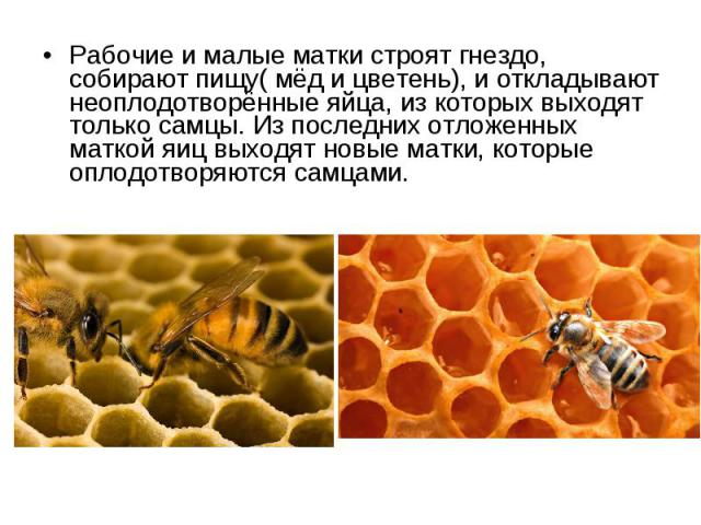 Рабочие и малые матки строят гнездо, собирают пищу( мёд и цветень), и откладывают неоплодотворённые яйца, из которых выходят только самцы. Из последних отложенных маткой яиц выходят новые матки, которые оплодотворяются самцами. Рабочие и малые матки…