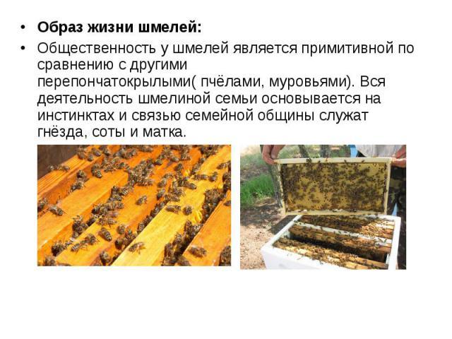 Образ жизни шмелей: Образ жизни шмелей: Общественность у шмелей является примитивной по сравнению с другими перепончатокрылыми( пчёлами, муровьями). Вся деятельность шмелиной семьи основывается на инстинктах и связью семейной общины служат гнёзда, с…