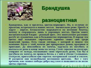 Брандушка, как и пролеска, цветок-первоцвет. Но, в отличие от пролески, встречае