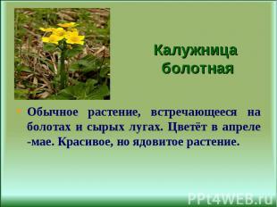 Обычное растение, встречающееся на болотах и сырых лугах. Цветёт в апреле -мае.