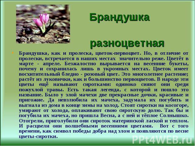Брандушка, как и пролеска, цветок-первоцвет. Но, в отличие от пролески, встречается в наших местах значительно реже. Цветёт в марте - апреле. Безжалостно вырывается на весенние букеты, почему и сохранилась лишь в укромных местах. Цветок имеет восхит…