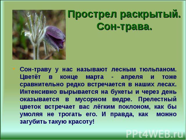 Сон-траву у нас называют лесным тюльпаном. Цветёт в конце марта - апреля и тоже сравнительно редко встречается в наших лесах. Интенсивно вырывается на букеты и через день оказывается в мусорном ведре. Прелестный цветок встречает вас лёгким поклоном,…
