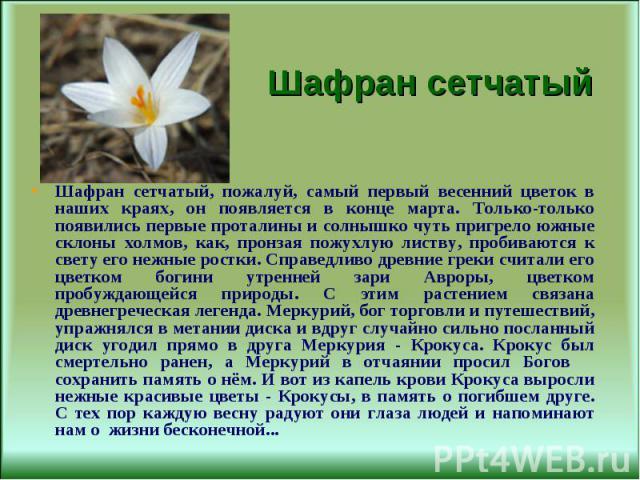 Шафран сетчатый, пожалуй, самый первый весенний цветок в наших краях, он появляется в конце марта. Только-только появились первые проталины и солнышко чуть пригрело южные склоны холмов, как, пронзая пожухлую листву, пробиваются к свету его нежные ро…