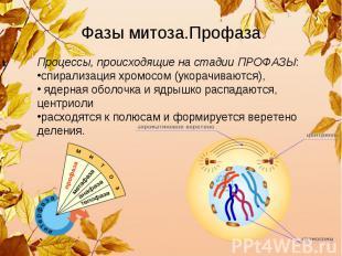 Фазы митоза.Профаза