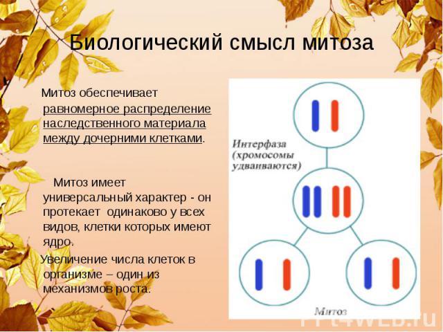 Биологический смысл митоза Митоз обеспечивает равномерное распределение наследственного материала между дочерними клетками. Митоз имеет универсальный характер - он протекает одинаково у всех видов, клетки которых имеют ядро. Увеличение числа клеток …
