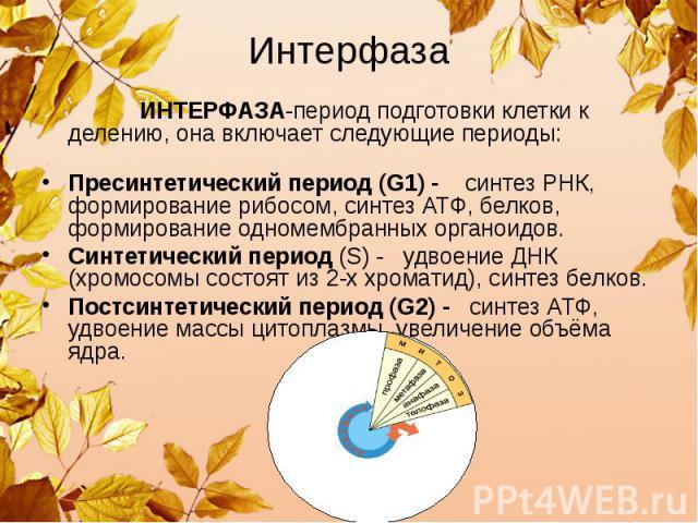Интерфаза ИНТЕРФАЗА-период подготовки клетки к делению, она включает следующие периоды: Пресинтетический период (G1) - синтез РНК, формирование рибосом, синтез АТФ, белков, формирование одномембранных органоидов. Синтетический период (S) - удвоение …