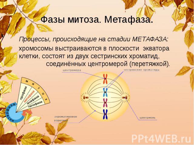 Фазы митоза. Метафаза. Процессы, происходящие на стадии МЕТАФАЗА: хромосомы выстраиваются в плоскости экватора клетки, состоят из двух сестринских хроматид, соединённых центромерой (перетяжкой).