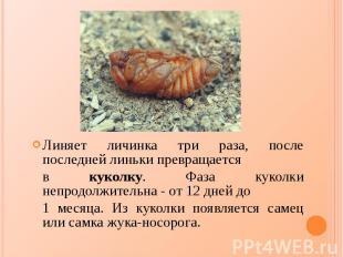 Линяет личинка три раза, после последней линьки превращается Линяет личинка три