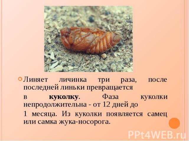 Линяет личинка три раза, после последней линьки превращается Линяет личинка три раза, после последней линьки превращается в куколку. Фаза куколки непродолжительна - от 12 дней до 1 месяца. Из куколки появляется самец или самка жука-носорога.