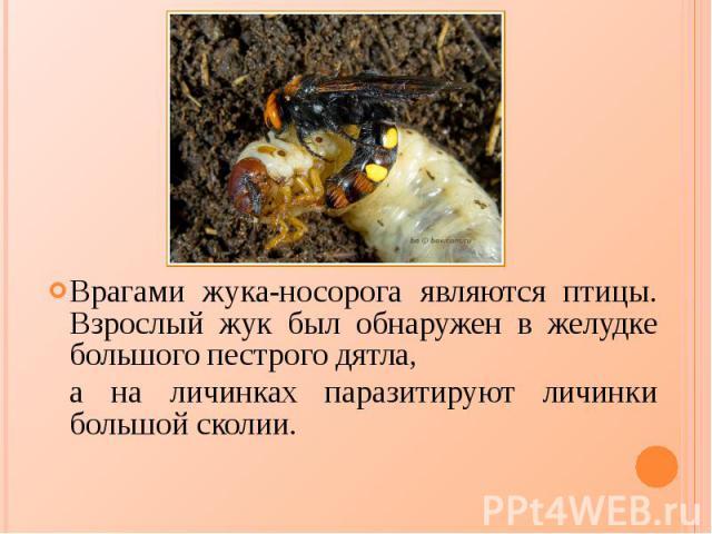 Врагами жука-носорога являются птицы. Взрослый жук был обнаружен в желудке большого пестрого дятла, Врагами жука-носорога являются птицы. Взрослый жук был обнаружен в желудке большого пестрого дятла, а на личинках паразитируют личинки большой сколии.