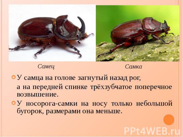 У самца на голове загнутый назад рог, У самца на голове загнутый назад рог, а на передней спинке трёхзубчатое поперечное возвышение. У носорога-самки на носу только небольшой бугорок, размерами она меньше.