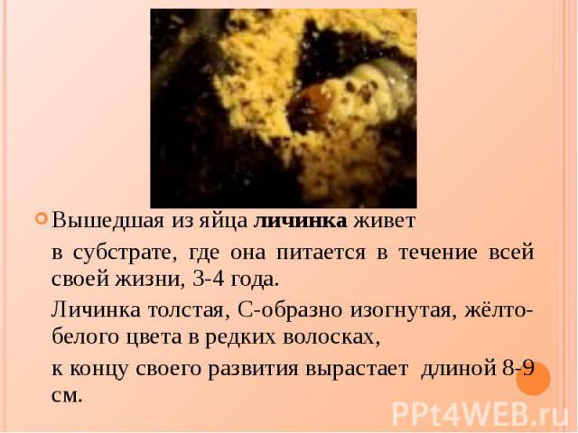 Вышедшая из яйца личинка живет Вышедшая из яйца личинка живет в субстрате, где она питается в течение всей своей жизни, 3-4 года. Личинка толстая, С-образно изогнутая, жёлто-белого цвета в редких волосках, к концу своего развития вырастает длиной 8-9 см.