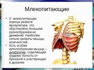 Млекопитающие У млекопитающих хорошо развита мускулатура, что обусловлено больши