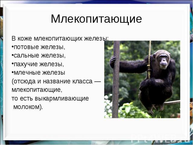 Млекопитающие В коже млекопитающих железы: потовые железы, сальные железы, пахучие железы, млечные железы (отсюда и название класса — млекопитающие, то есть выкармливающие молоком).