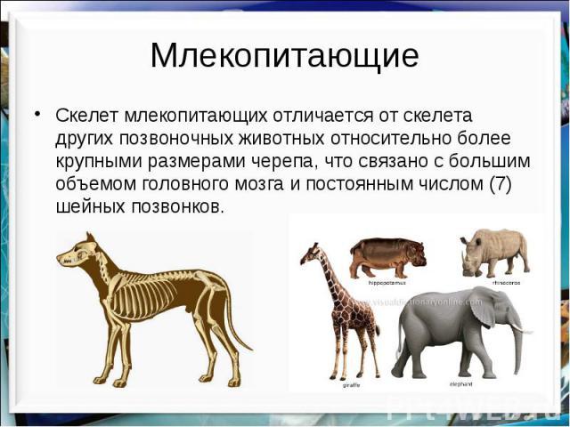 Млекопитающие Скелет млекопитающих отличается от скелета других позвоночных животных относительно более крупными размерами черепа, что связано с большим объемом головного мозга и постоянным числом (7) шейных позвонков.