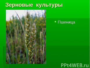 Пшеница Пшеница