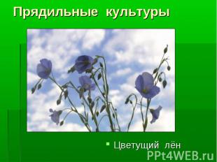 Цветущий лён Цветущий лён