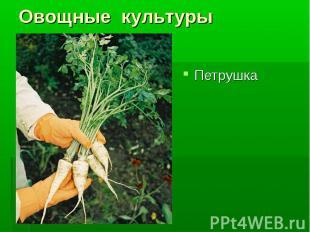 Петрушка Петрушка