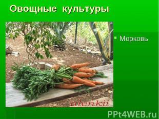Морковь Морковь