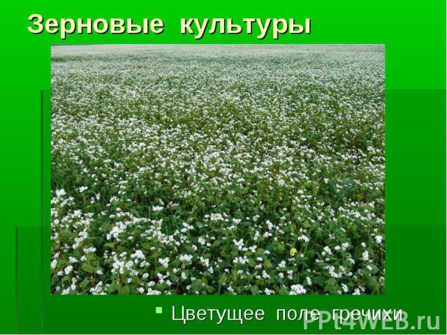 Цветущее поле гречихи Цветущее поле гречихи