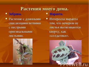 Зебрина. Зебрина. Растение с длинными свисающими ветвями с пестрыми оригинальным