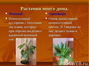 Молочай. Молочай. Вечнозеленый кустарник с толстыми листьями, которые при обрезк
