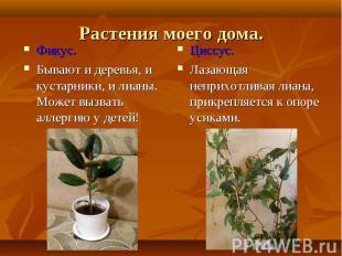 Фикус. Фикус. Бывают и деревья, и кустарники, и лианы. Может вызвать аллергию у