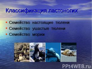 Классификация ластоногих Семейство настоящие тюлени Семейство ушастые тюлени Сем