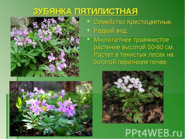 Семейство Крестоцветные. Семейство Крестоцветные. Редкий вид. Многолетнее травянистое растение высотой 50-60 см. Растет в тенистых лесах на богатой перегноем почве.