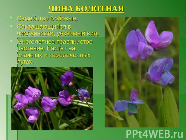 Семейство Бобовые. Семейство Бобовые. Сокращающийся в численности, уязвимый вид. Многолетнее травянистое растение. Растет на влажных и заболоченных лугах.