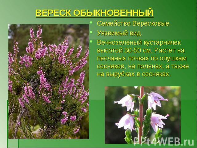 Семейство Вересковые. Семейство Вересковые. Уязвимый вид. Вечнозеленый кустарничек высотой 30-50 см. Растет на песчаных почвах по опушкам сосняков, на полянах, а также на вырубках в сосняках.