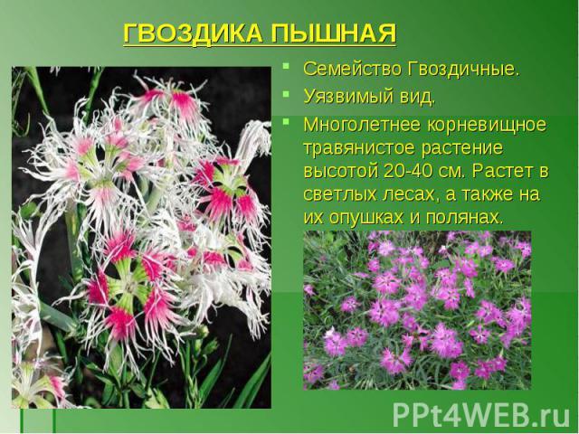 Семейство Гвоздичные. Семейство Гвоздичные. Уязвимый вид. Многолетнее корневищное травянистое растение высотой 20-40 см. Растет в светлых лесах, а также на их опушках и полянах.