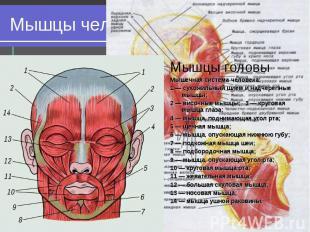 Мышцы головы Мышцы головы