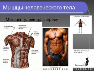 Мышцы туловища спереди Мышцы туловища спереди